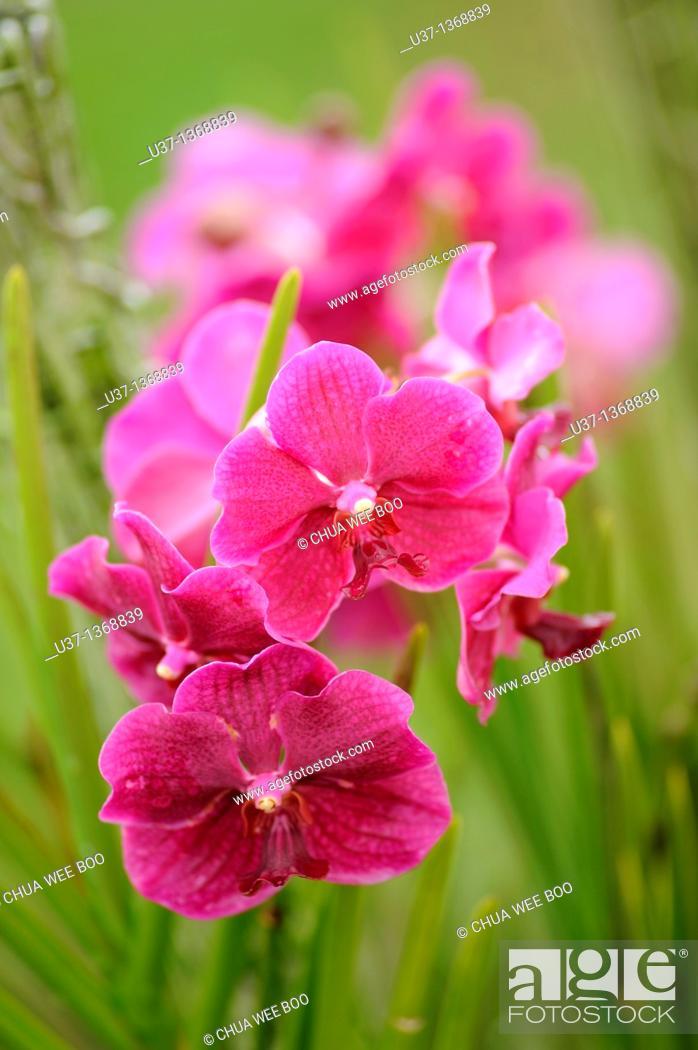 Stock Photo: Orchid Garden, Kuching, Sarawak, Malaysia.