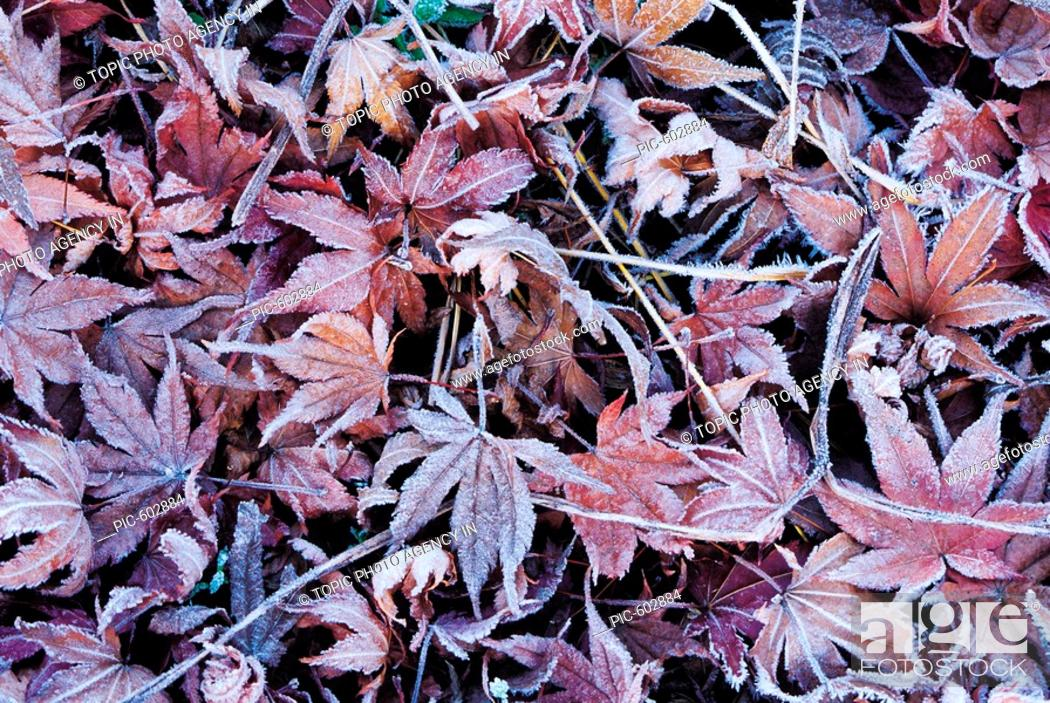 Stock Photo: Close-up Of Frosted Leaves.