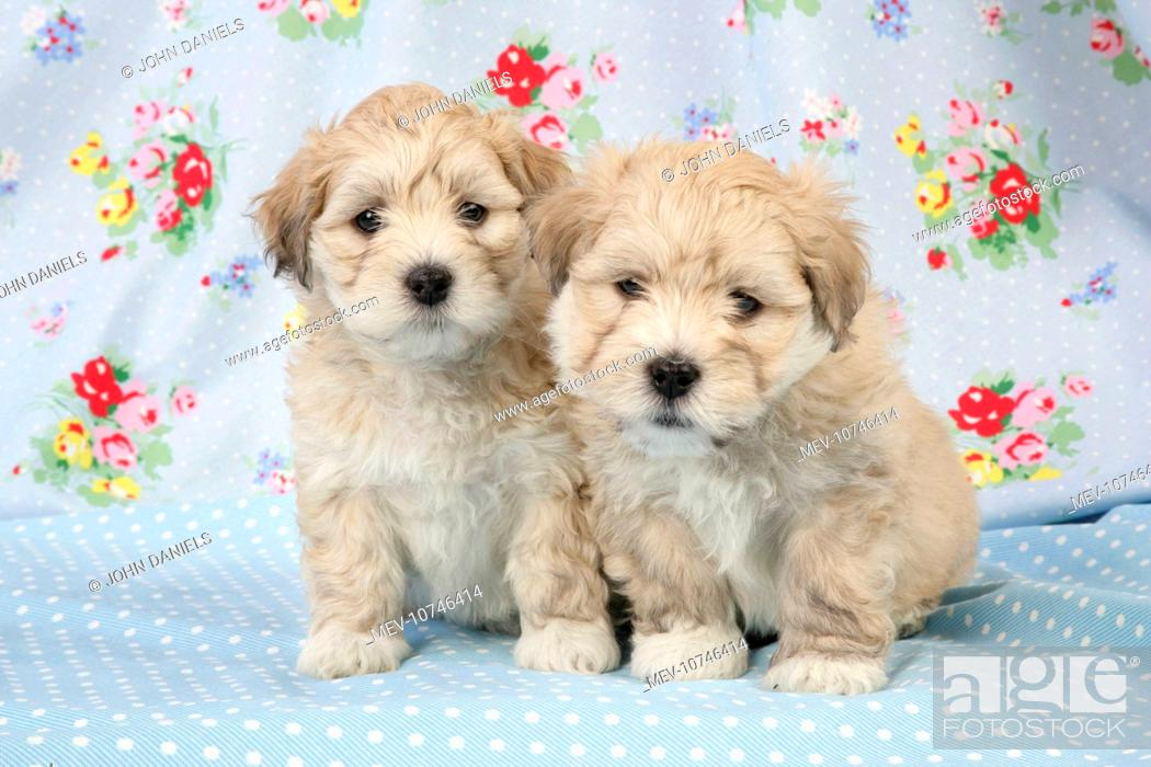 Dog 7 Weeks Old Lhasa Apso Cross Shih Tzu Puppies Stock Photo