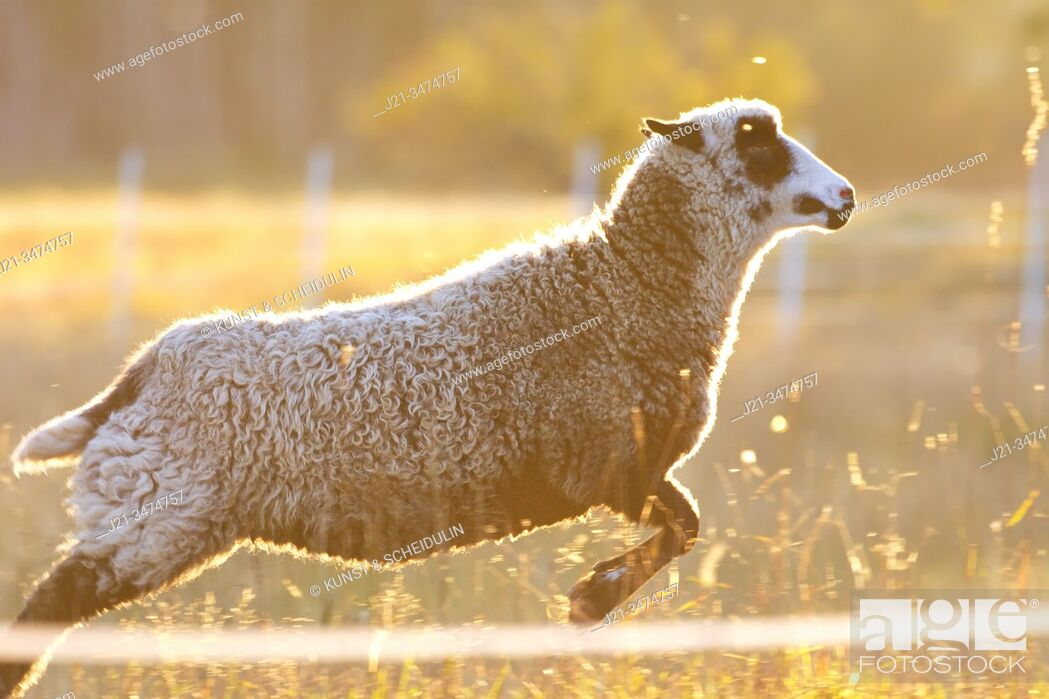 Stock Photo: A sheep is gamboling over a psture in the golden light of sunset.