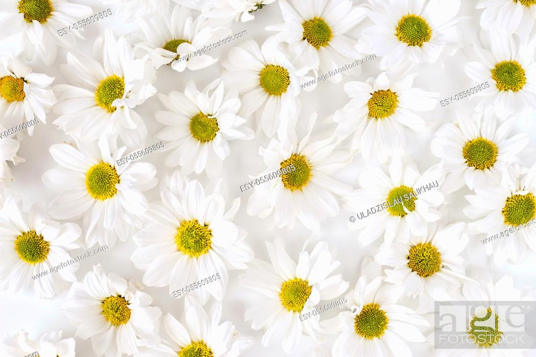 Stock Photo: Daisy pattern. Flat lay spring and summer flowers background. Flat lay. Dense texture.