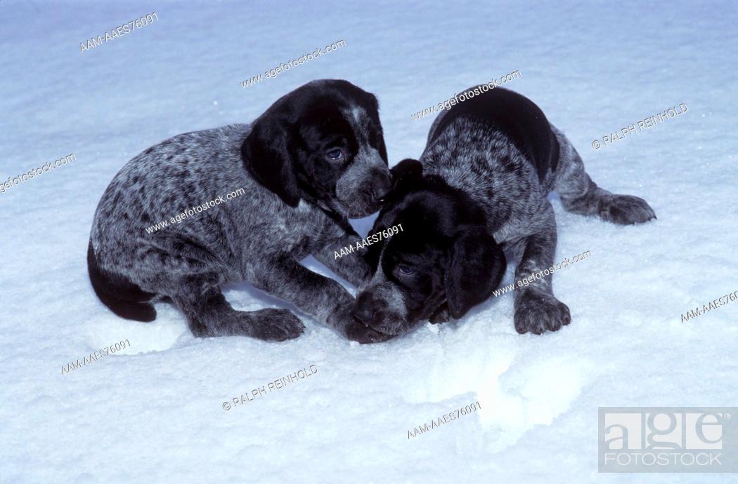 Stock Photo: German Shorthaired Pointer, playful Puppies, Woodbridge, Ontario.