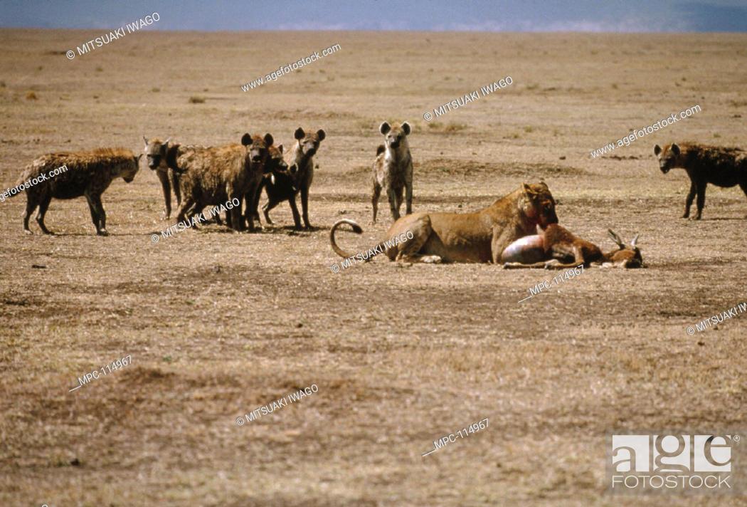 Stock Photo: AFRICAN LION, (Panthera leo) FEEDING WHILE HYENAS, (Crocuta crocuta) ATTEMPT TO SCAVENGE, SERENGETI.