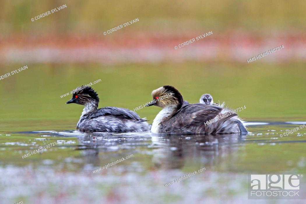 Stock Photo: Chile, Patagonia, Magellan Region, Torres del Paine National Park, Silvery Grebe (Podiceps occipitalis), the female is with a chick on the back.