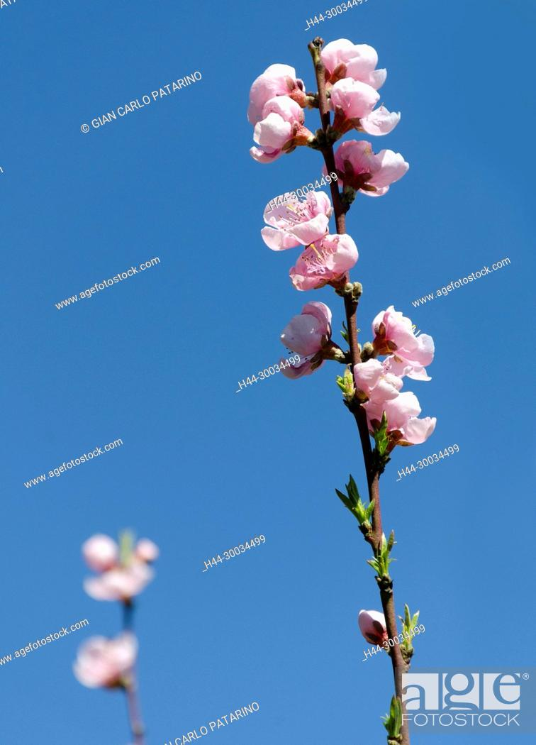 Stock Photo: Peach branch in bloom.