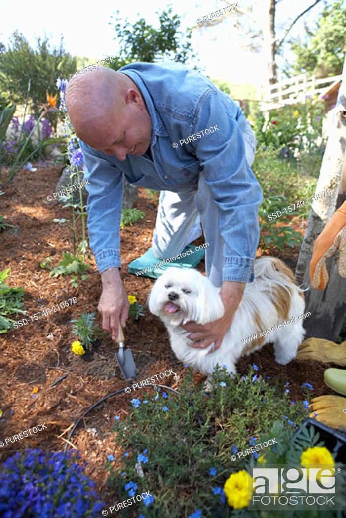 Stock Photo: High angle view of a mature man gardening with his dog beside him.