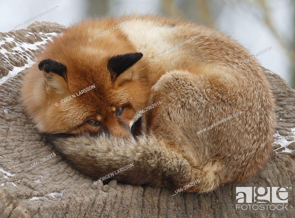 Imagen: Red fox resting, Sweden.