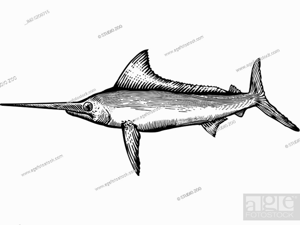 Stock Photo: A black and white drawing of a marlin.