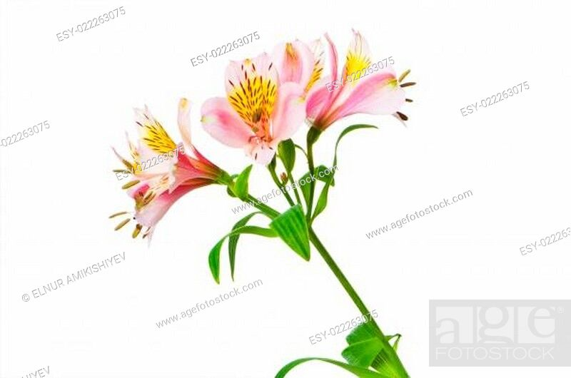 Stock Photo: Colourful lilies isolated on the white background.