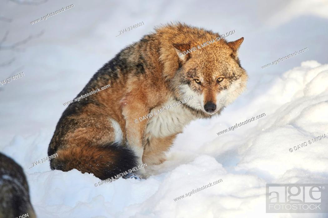 Stock Photo: Close-up of a Eurasian wolf (Canis lupus lupus) in a snowy winter.