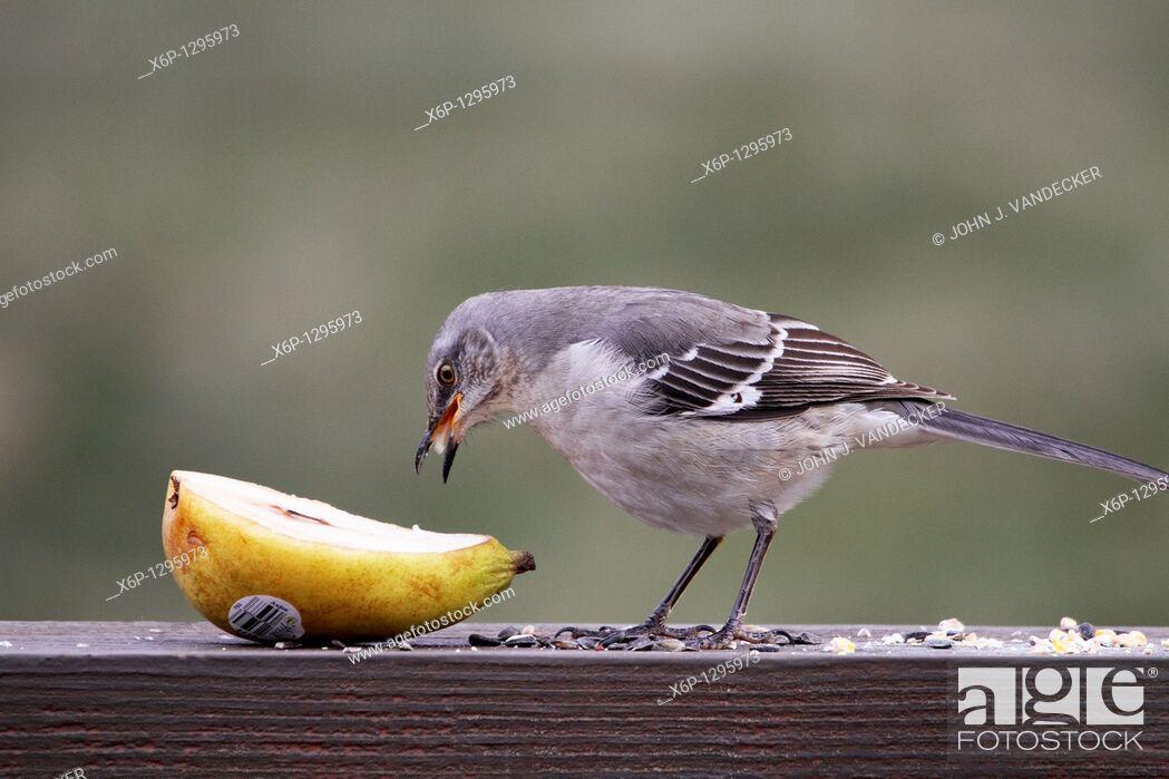 Stock Photo: A Northern Mockingbird, Mimus polyglottos, eating a pear  New Jersey, USA.