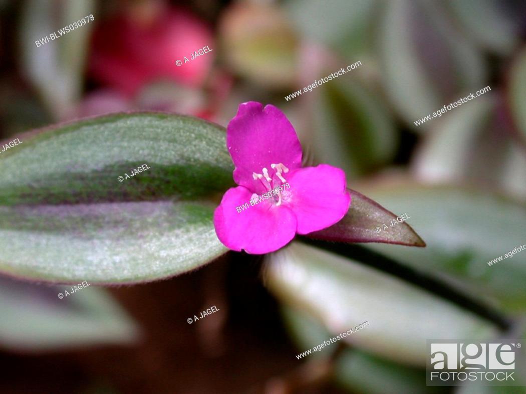 Stock Photo: Wandering Jew Zebrina pendula, Tradescantia zebrina, flower and leaves.