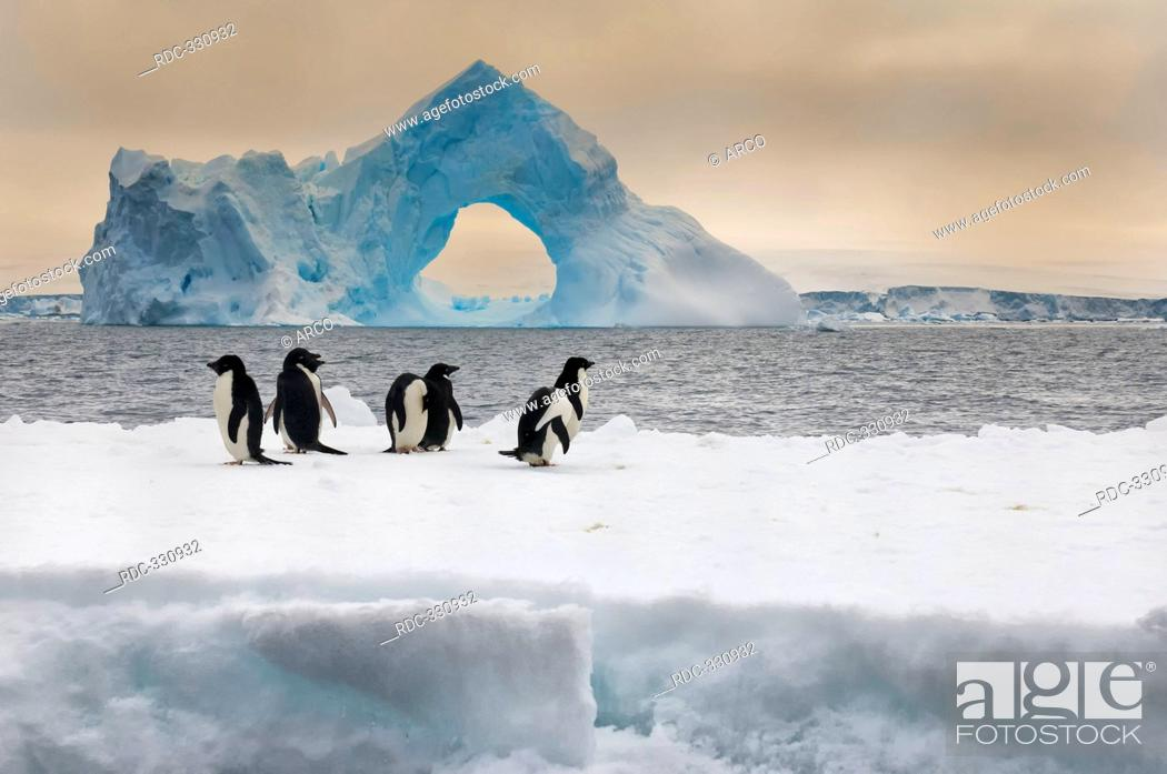 Stock Photo: Adelie Penguins on icefloe, iceberg with natural arch, Paulet Island, Erebus and Terror Gulf, Antarctic peninsula / Pygoscelis adeliae.