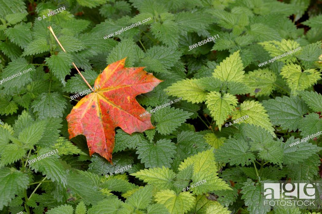 Stock Photo: Norway maple (Acer platanoides), autumn coloured leaf lying on stinging nettle, Urtica dioica.