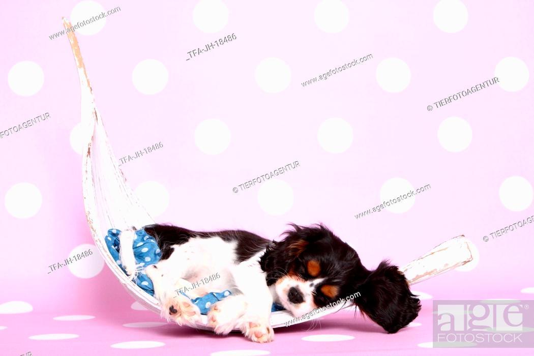 Stock Photo: Cavalier King Charles Spaniel puppy.