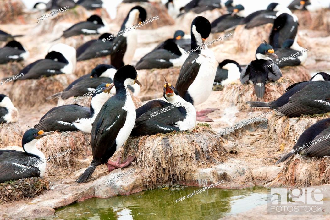 Stock Photo: Group of King Cormorants (Phalacrocorax atriceps) at colony, Falkland Islands, Sea Lion Island.