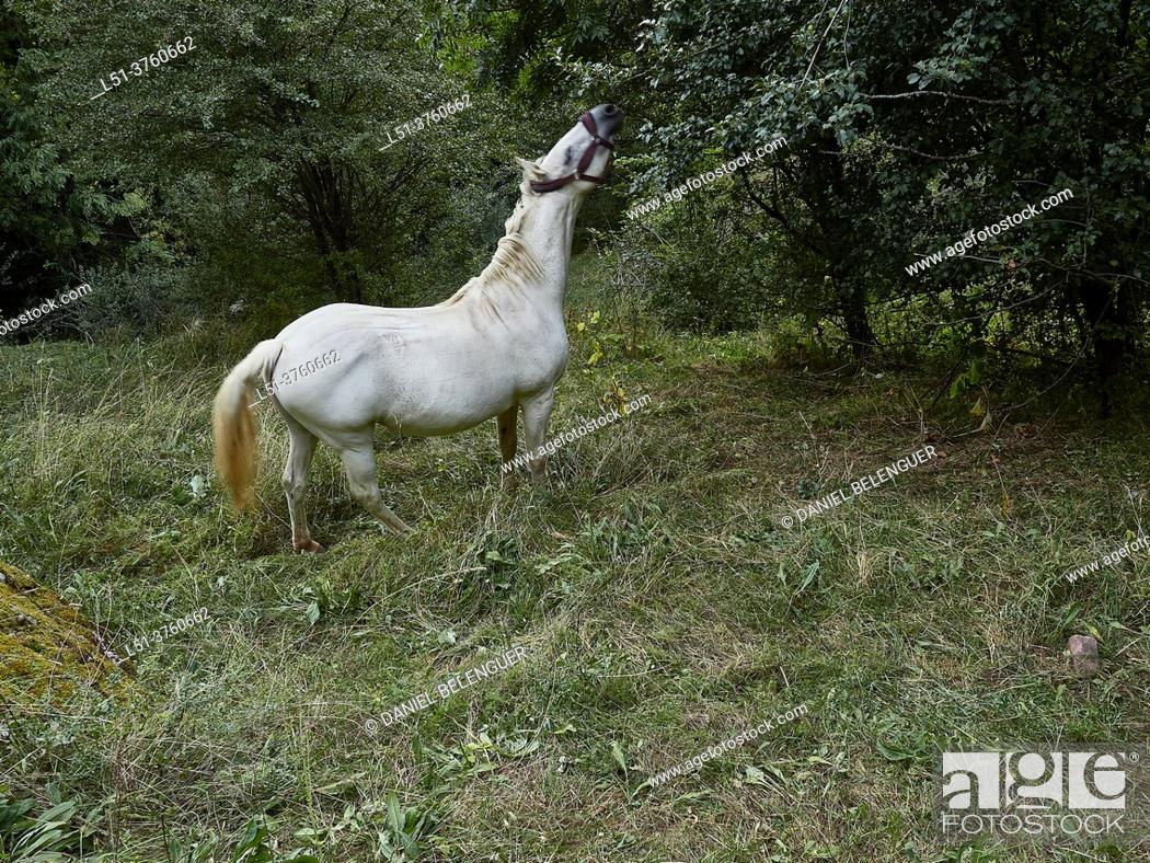 Stock Photo: White horse near Arasán, Benasque, Aragón, Spain.