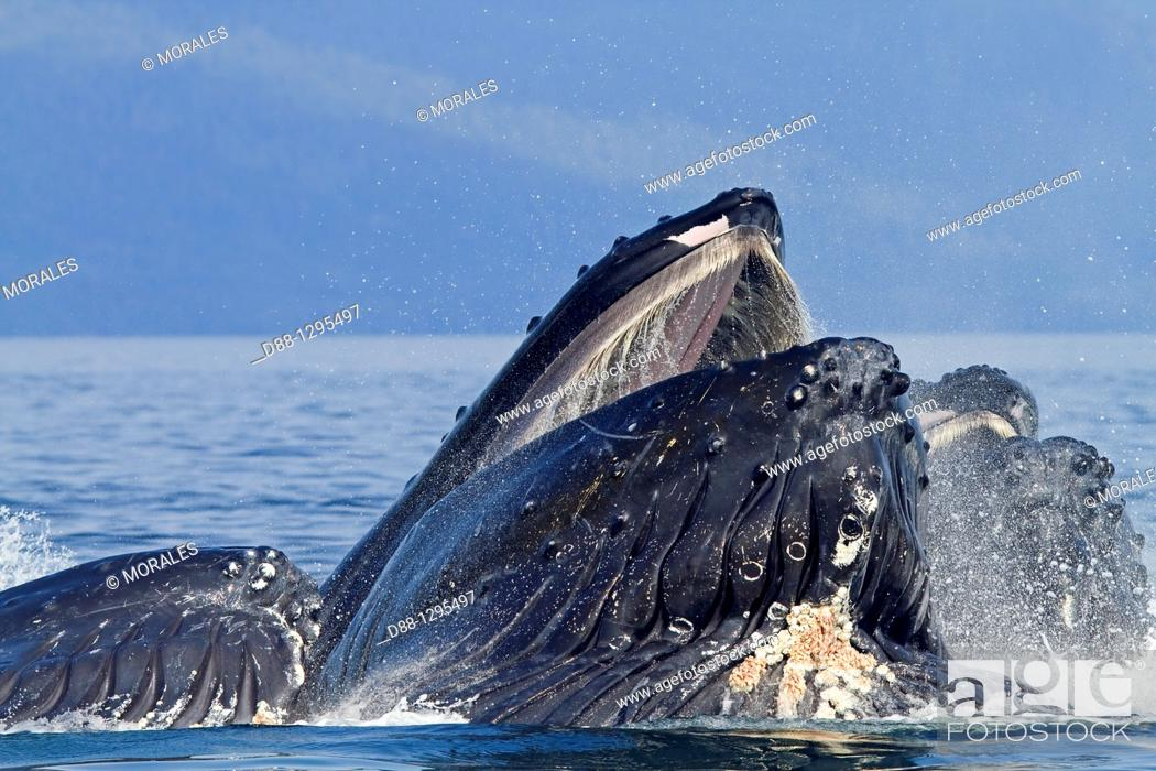 Stock Photo: Bubble feeding Bubble net feeding  Humpback whale  Megaptera novaeangliae  Order: Cetacea Suborder: Mysticeti Family: Balaenopteridae.