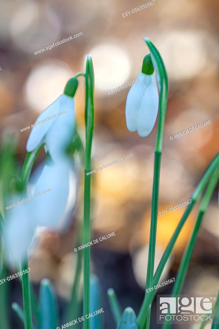 Stock Photo: Galanthus nivalis, snowdrop flowers, springtime.