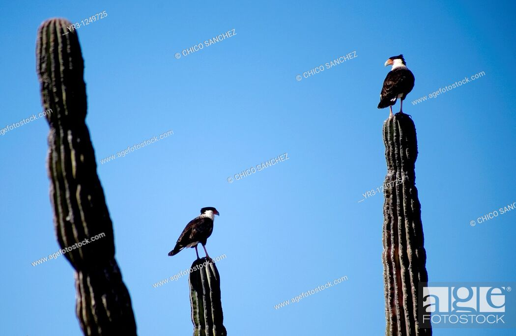 Stock Photo: Two Crested Caracaras, also known as Mexican Eagles, perch on cactus in the desert in Mexico's southern Baja California state.
