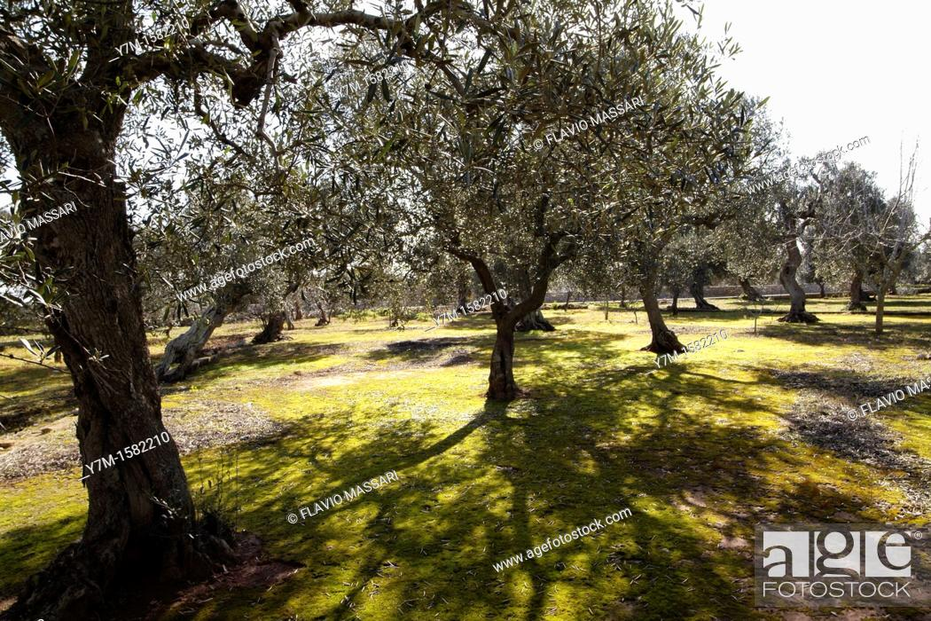 Stock Photo: olive trees in south apulia, Italy.