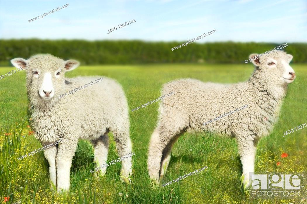 Stock Photo: Two lambs in field digital composite.
