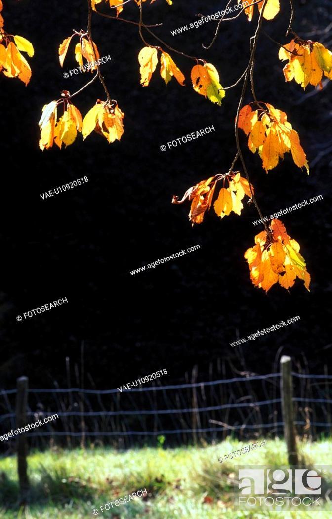 Stock Photo: weide, austria, autumn, autumn-like, back light, branch, calf.