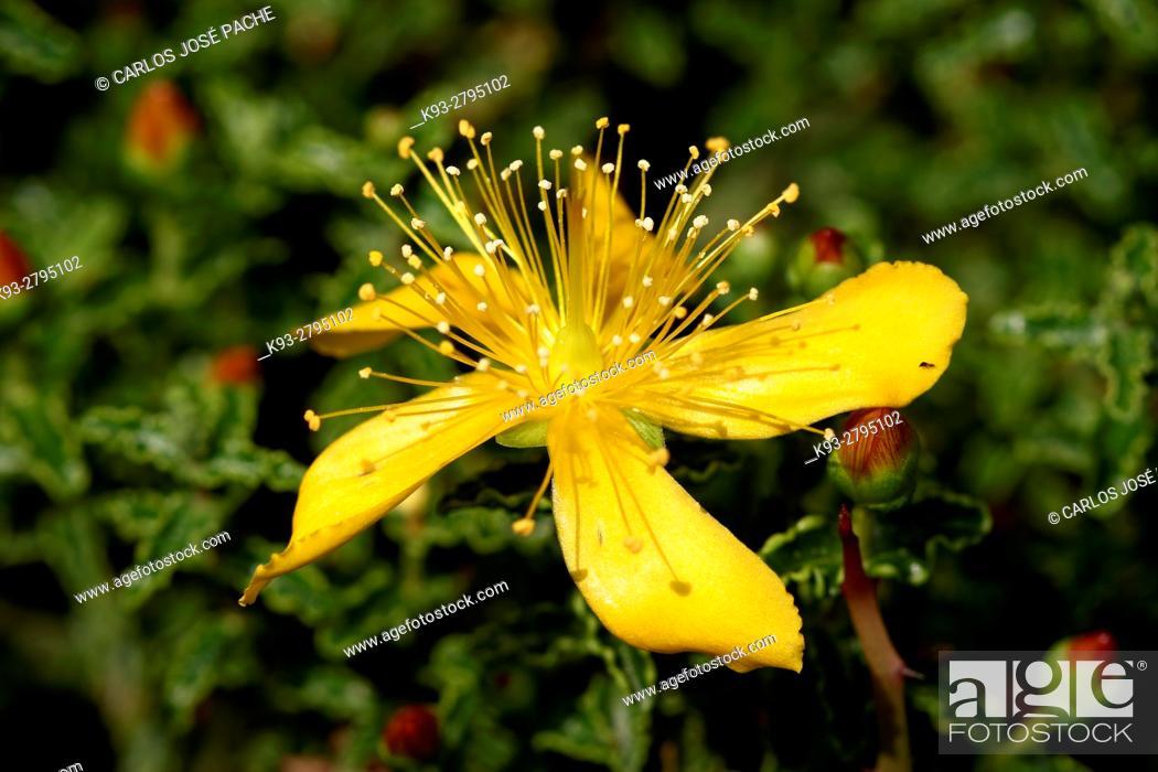 Stock Photo: Primer plano de las flores de la estepa joana, (Hypericum balearicum ) en la serra de Tramuntana. Mallorca.