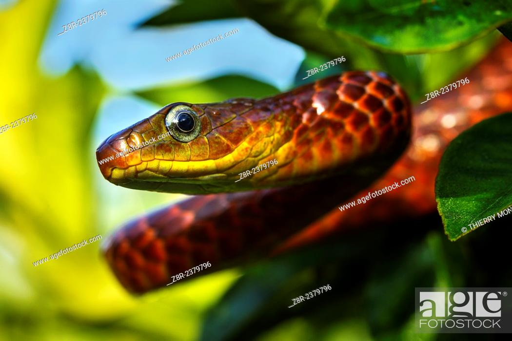 Stock Photo: Chironius scurrulus. Diurnal colubrid snake on a branch. French Guiana.