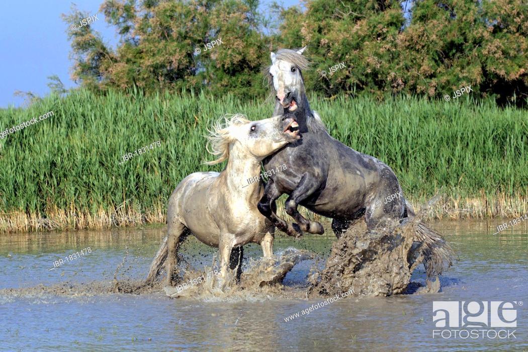 Stock Photo: Camargue horses (Equus caballus), two stallions fighting in water, Saintes-Marie-de-la-Mer, Camargue, France, Europe.