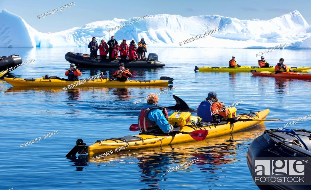 Imagen: Kayakers and Zodiak passengers encounter close up, a Minke Whale while paddling in Curtis Bay, Antarctic Peninsula.