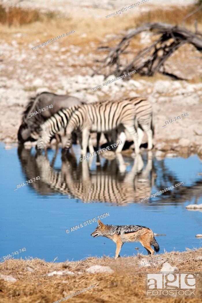Stock Photo: Blackbacked jackal Canis mesomelas, Okaukuejo waterhole, Etosha National Park, Namibia, Africa.