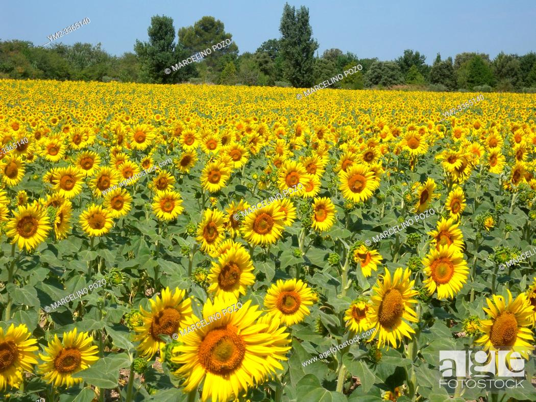 Stock Photo: Sunflowers in the fields during summer , nature and agriculture at isle sur la surge Provence , France.