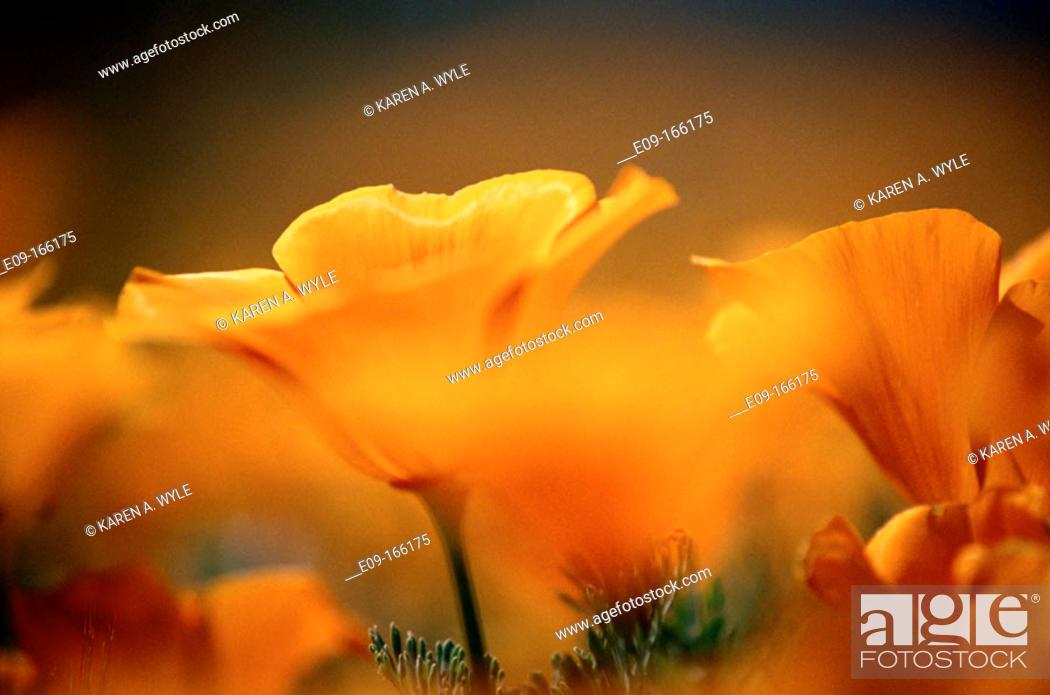 Stock Photo: California Poppies (Eschscholzia californica). Antelope Valley. California. USA.
