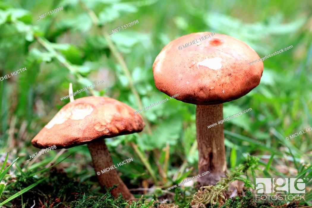 Stock Photo: Two mushrooms Leccinum aurantiacum orange or boletus or auriantacus.
