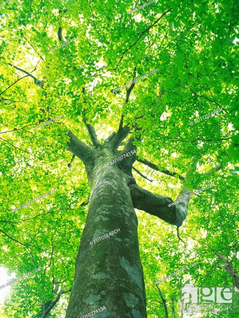 Stock Photo: Big Tree, Low Angle View, Pan Focus.