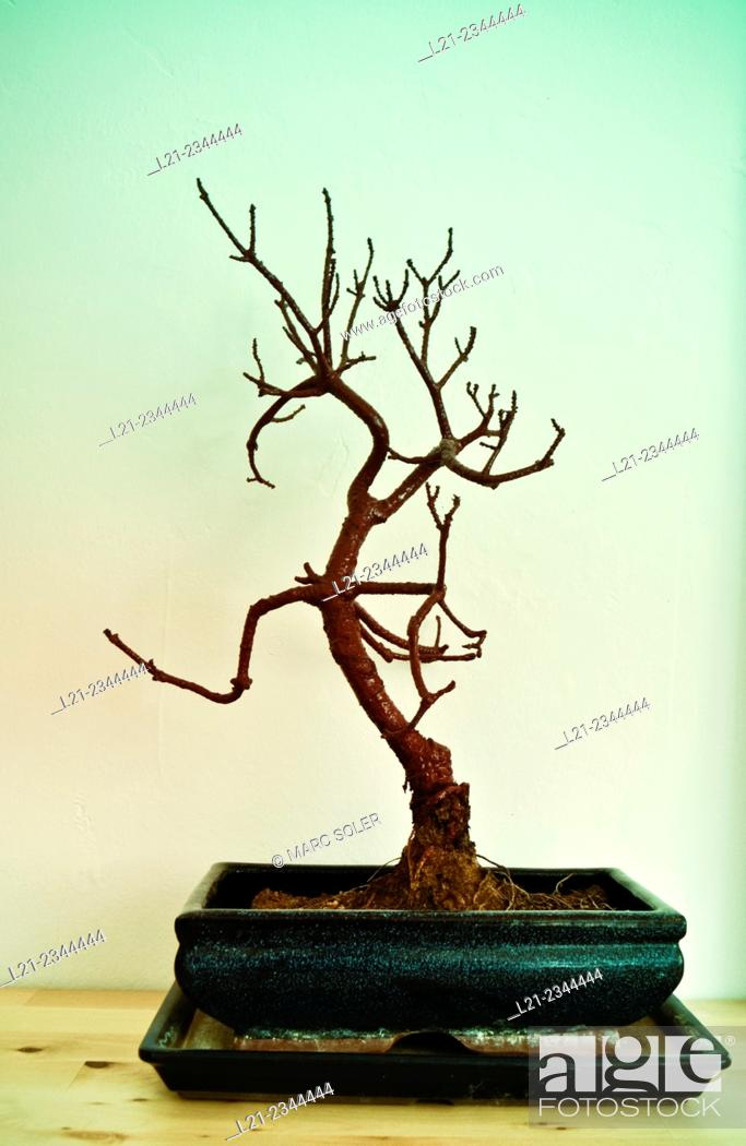 Stock Photo: Bonsai.
