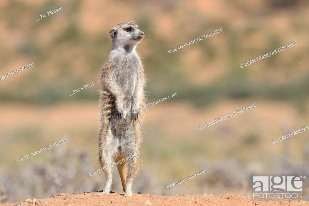 Stock Photo: Meerkat (Suricata suricatta), adult male upstanding, attentive, at the burrow entrance, Kgalagadi Transfrontier Park, Northern Cape, South Africa, Africa.