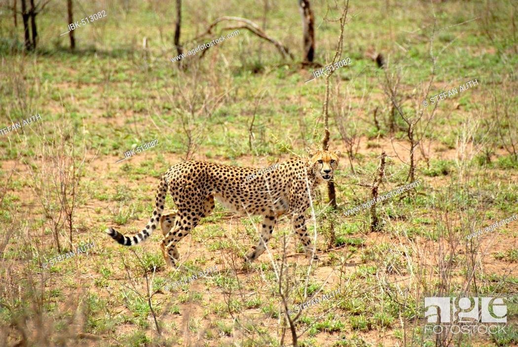 Stock Photo: Cheetah (Acinonyx jubatus) at still hunt Serengeti National Park Tanzania.