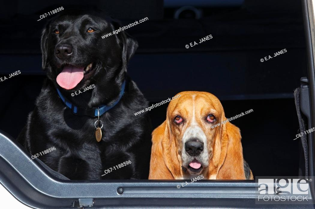 Stock Photo: Basset Hound & Black Labrador Portrait.