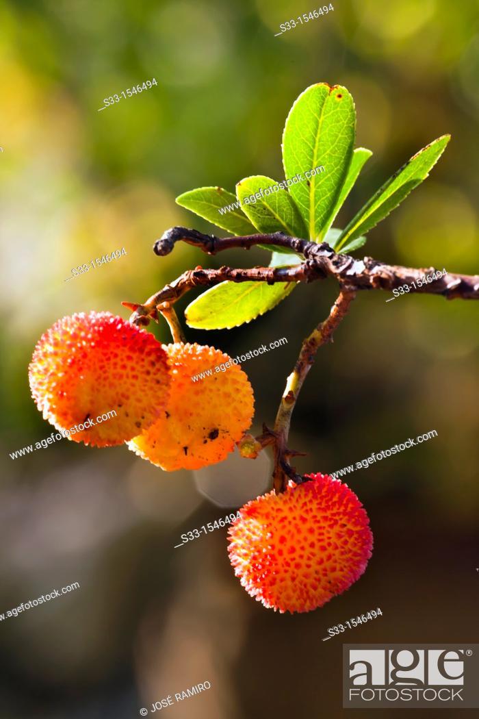 Stock Photo: Strawberry tree in Cadalso de los Vidrios, Madrid, Spain.