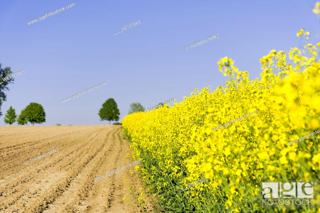 Stock Photo: yellow rape flowers blooming. Horb am Neckar, Baden Württemberg, Germany.