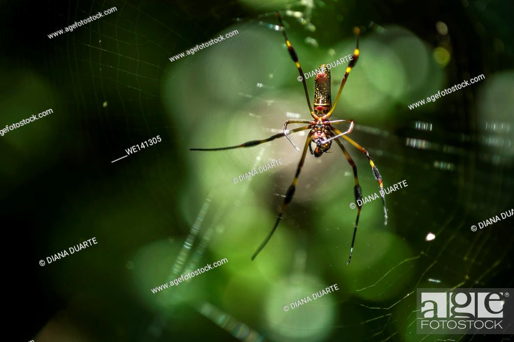 "Stock Photo: """"""""""Golden silk orb-weaver"""" (Nephila); The web can be a meter wide, strung between branches and a few meters off the ground. Costa Rica."