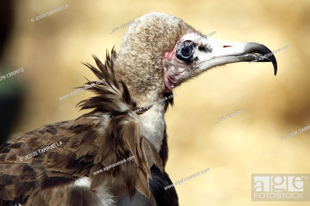 Stock Photo: Buitre, Gyps africanus African white-backed Vulture, exhibition of falconry in Ayora, October 9, 2010, UNESCO.