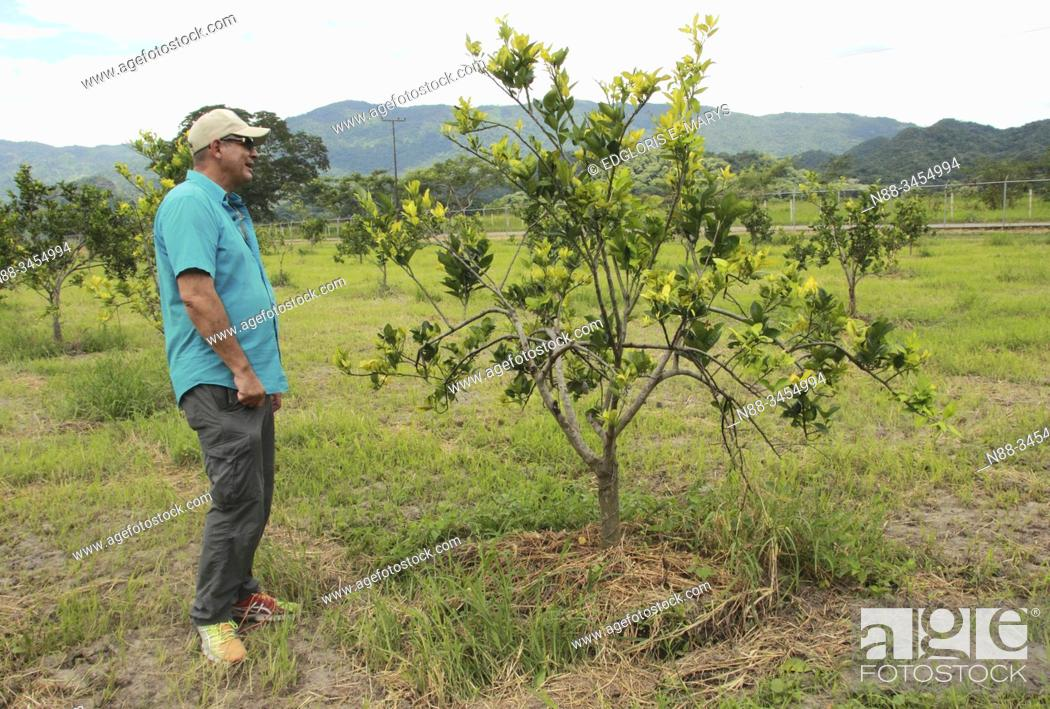 Stock Photo: A farmer watch orange citrus tree orchard heavily infected with huanglongbing yellow dragon citrus greening plague deadly disease Venezuela.