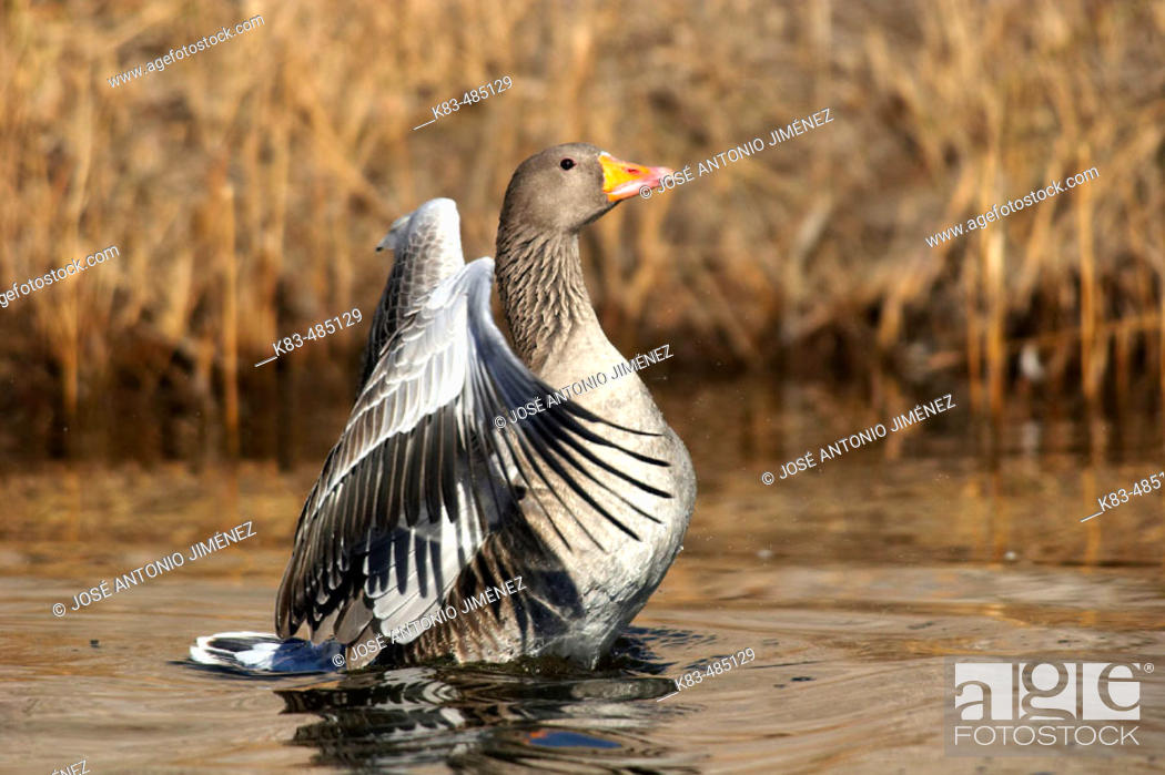 Stock Photo: Greylag Goose (Anser anser).