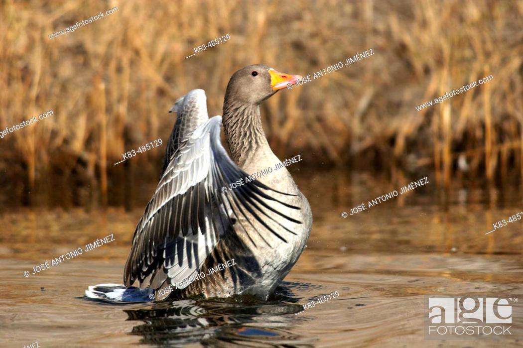 Stock Photo: Greylag Goose (Anser anser).