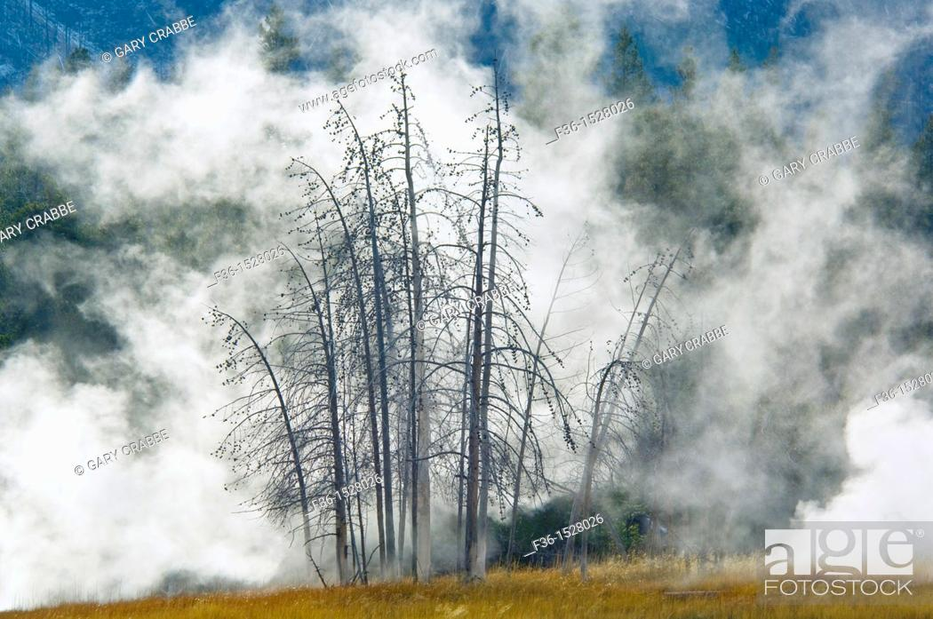Stock Photo: Geothermal steam behind trees, Upper Geyser Basin, Yellowstone National Park, Wyoming.