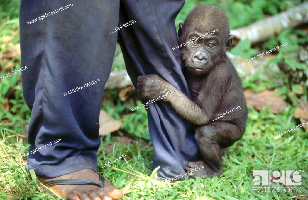 Stock Photo: Gorilla. Cameroon.