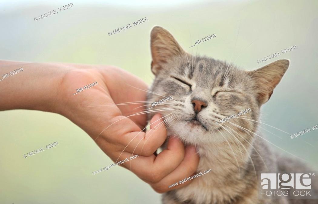 Stock Photo: Hand stroking young gray tabby cat, cat enjoying it.